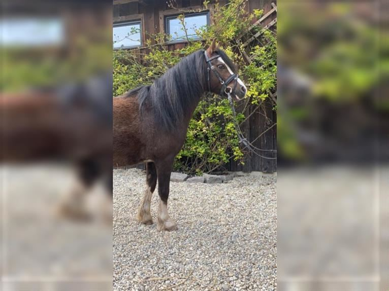 Welsh A (Mountain Pony) Gelding 4 years 12 hh Chestnut