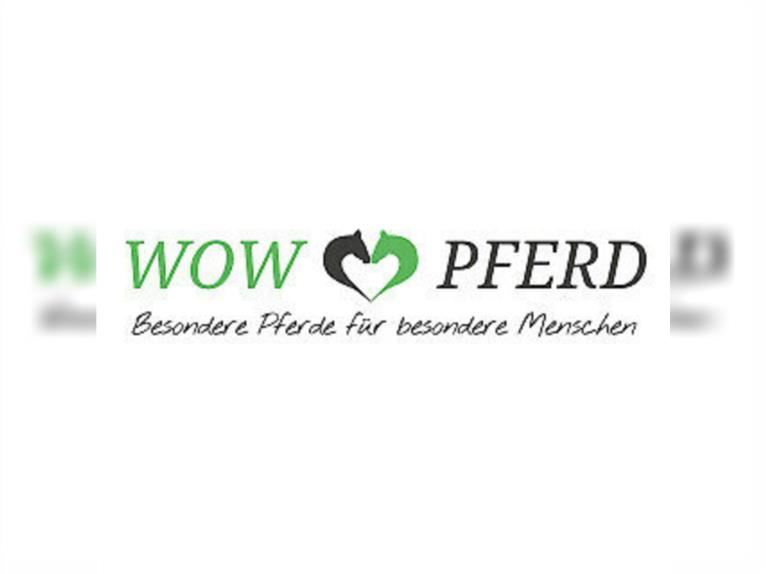 Lusitano Mix Mare 2 years 14,2 hh Can be white