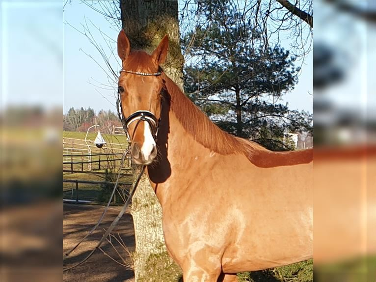 Hanoverian Mare 3 years Chestnut-Red