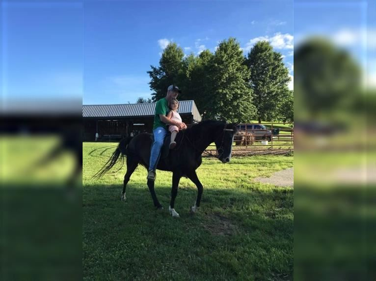 Rocky Mountain Horse Mare 12 years 14,1 hh Black