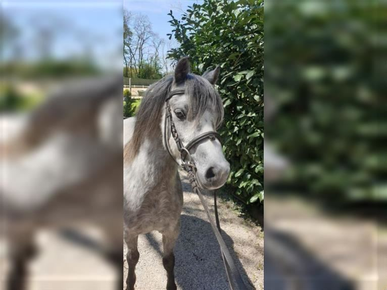 Welsh A (Mountain Pony) Gelding 4 years 12,1 hh Gray
