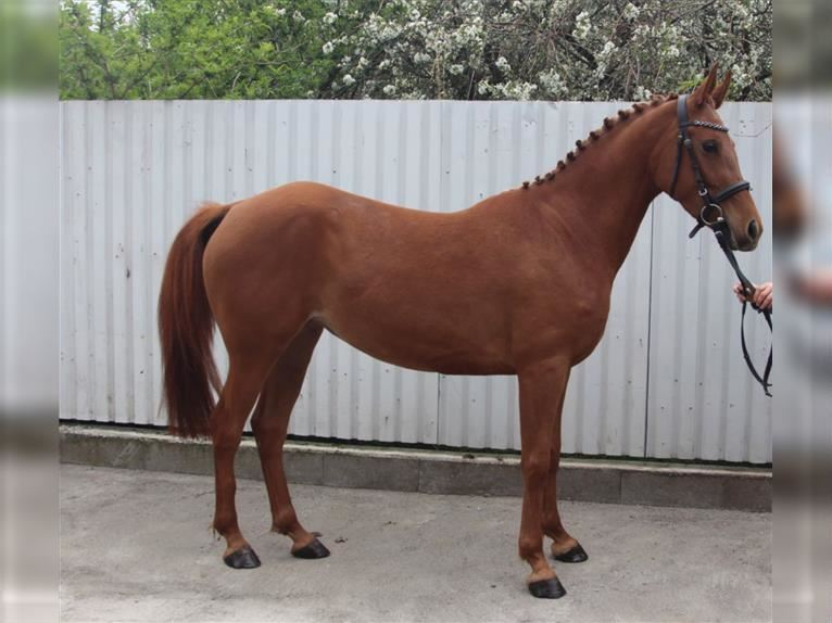 Hungarian Sport Horse Mare 3 years Chestnut