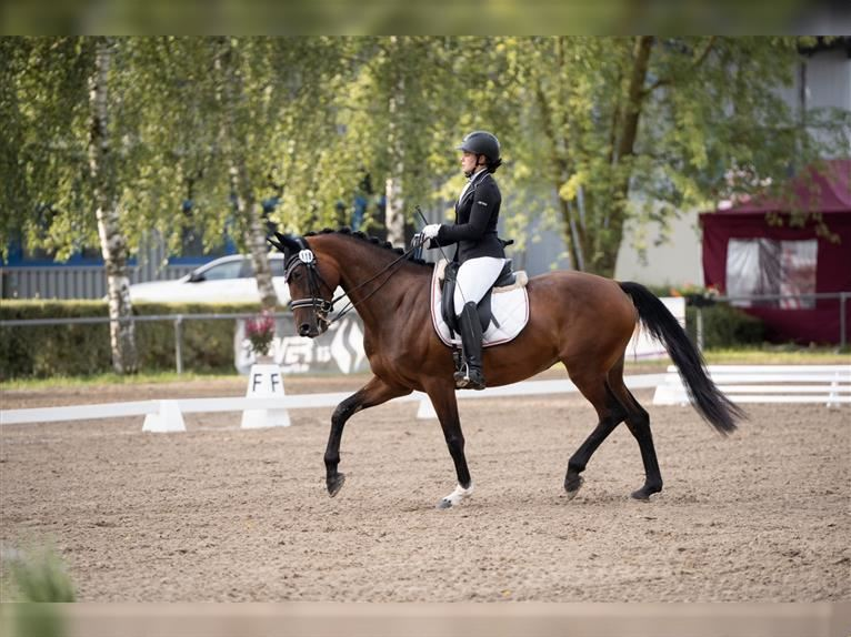 Hanoverian Mare 6 years 16,2 hh Brown