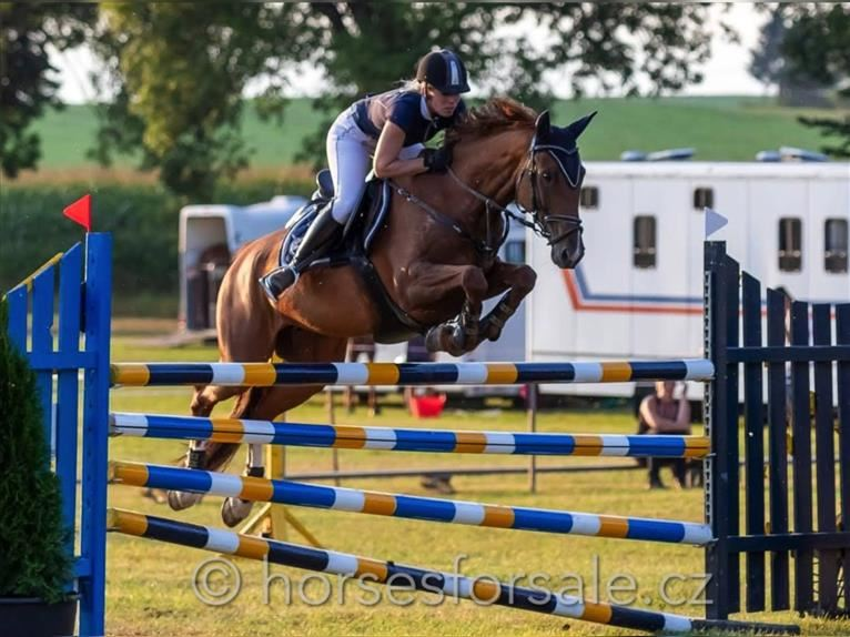 Czech Warmblood Mare 9 years 15,2 hh Chestnut-Red