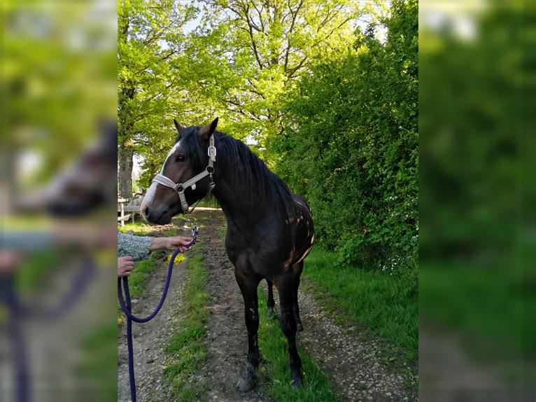 New Forest Pony Hengst 3 Jahre
