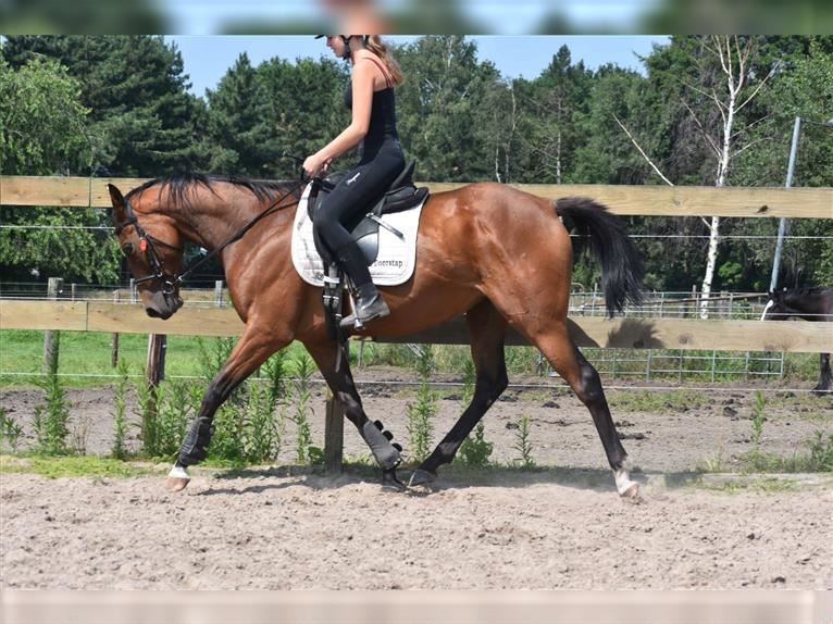 Other Breeds Mare 3 years 15,2 hh Brown