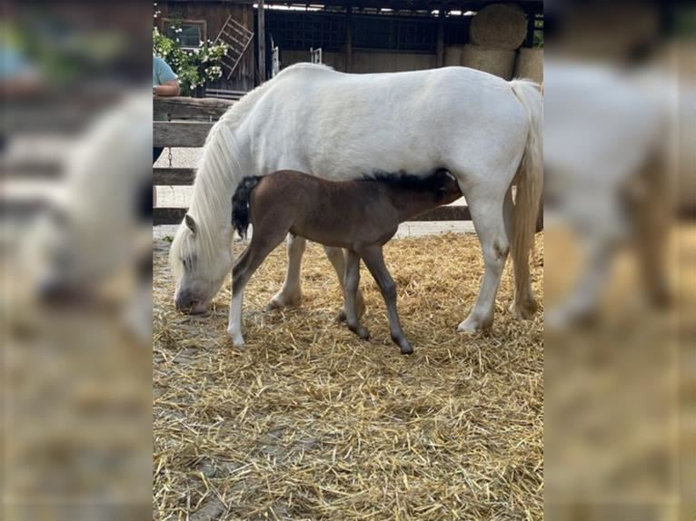 Welsh A (Mountain Pony) Mare 7 years 12 hh Gray