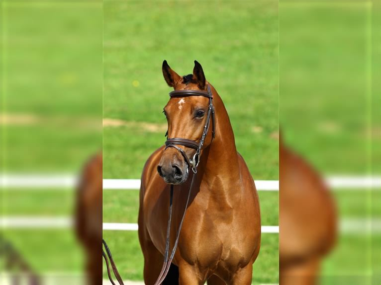 KWPN Mare 4 years 15,3 hh Brown