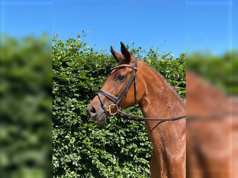 Hanoverian Mare 4 years 16,1 hh Brown