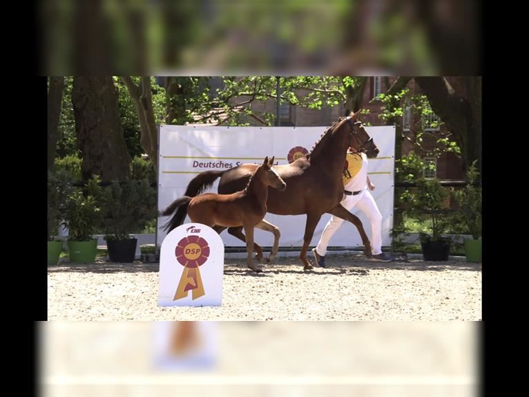 German Sport Horse Mare 5 years 16 hh Chestnut-Red