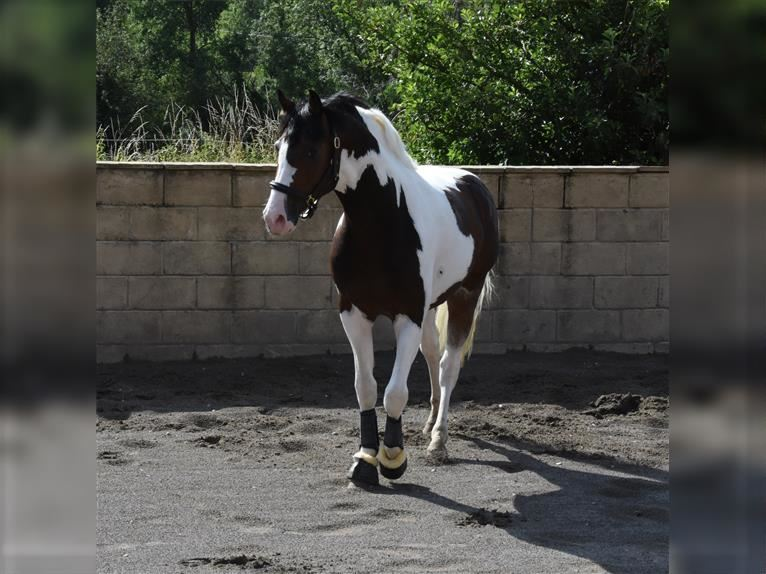 Oldenburg-International (OS) Stallion 4 years 16 hh Tobiano-all-colors