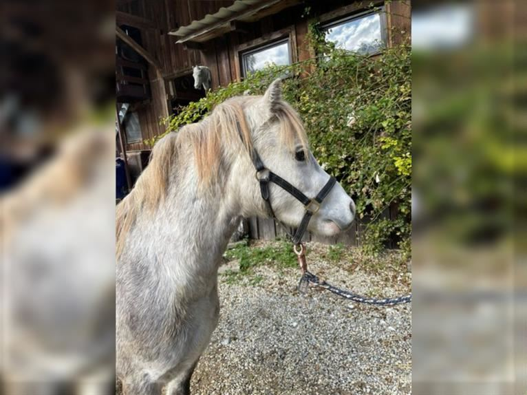 Welsh A (Mountain Pony) Gelding 2 years 12 hh Gray