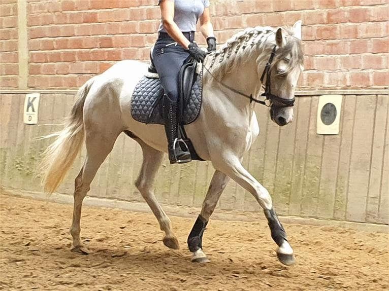 Andalusian Mix Gelding 8 years 15,2 hh Gray