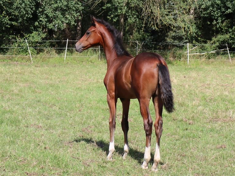 Hanoverian Mare Foal (03/2021) 17 hh Brown