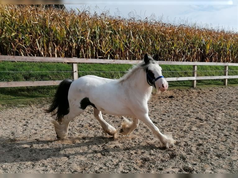 Gypsy Horse Mare 5 years 13,1 hh Pinto