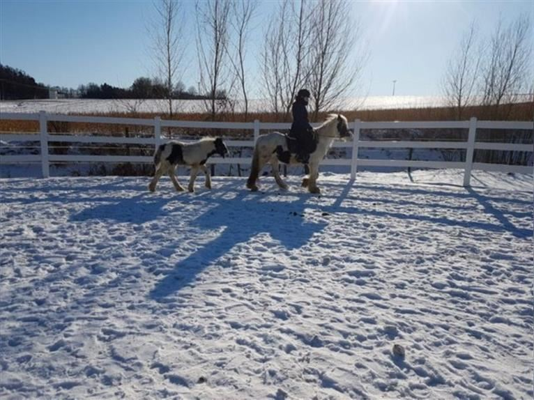Gypsy Horse Mare 6 years 13,1 hh Pinto