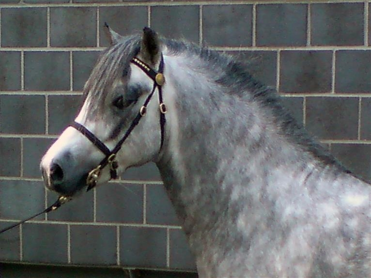 THREE-STARS LORD BOUNCER Welsh A (Mountain Pony) Stallion Gray