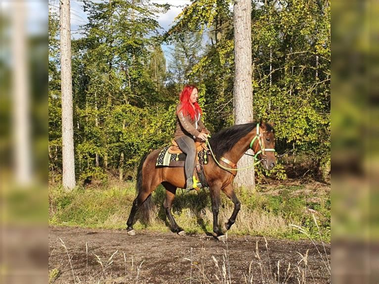 Other Breeds Mare 6 years 15 hh Brown