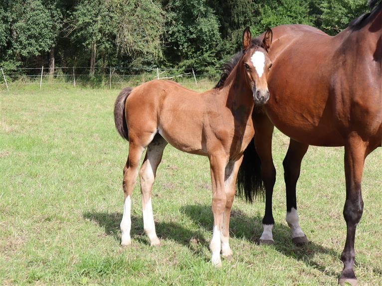 Hanoverian Mare Foal (05/2021) 17 hh Brown