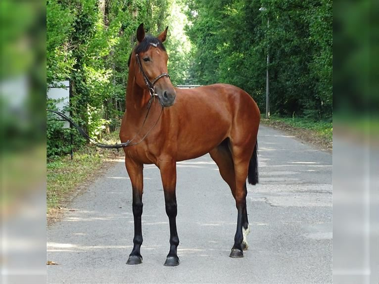 Hungarian Sport Horse Mare 4 years 16,2 hh Brown