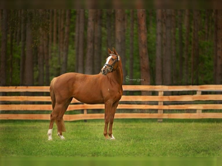 German Riding Pony Mare 3 years 14,1 hh Chestnut