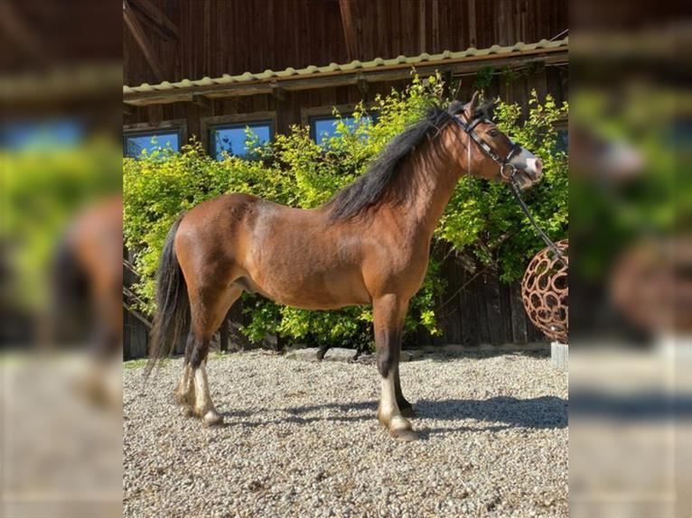 Welsh A (Mountain Pony) Gelding 4 years 12,1 hh Brown