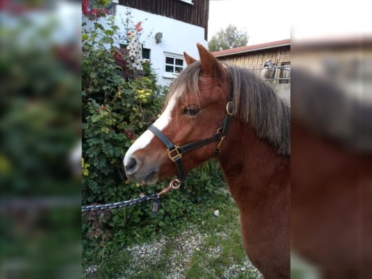 Welsh A (Mountain Pony) Gelding 5 years 12 hh Chestnut