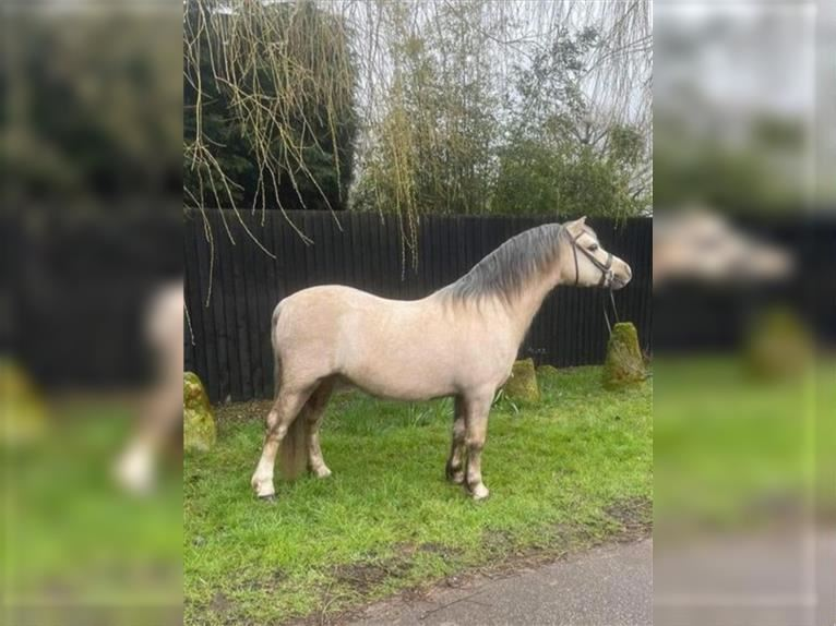 Welsh A (Mountain Pony) Gelding 5 years 12,1 hh Palomino