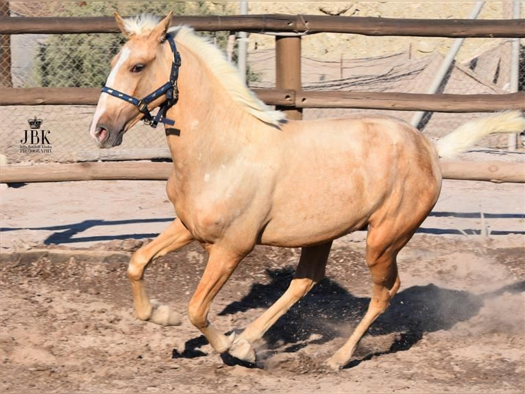 Andalusier Hengst 1 Jahr 152 cm Palomino