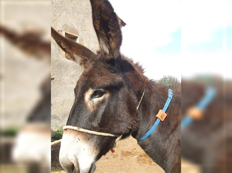 Jung Katalanischer Esel Young Catalan Donkey