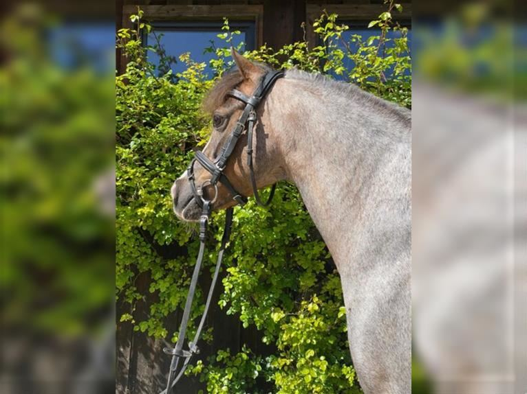 Welsh A (Mountain Pony) Mare 11 years 12,1 hh Roan-Red