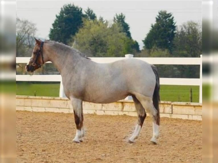 Welsh-A Stute 11 Jahre 127 cm Roan-Red