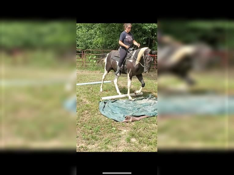Spotted Saddle Horse Hengst 3 Jahre 155 cm Schecke