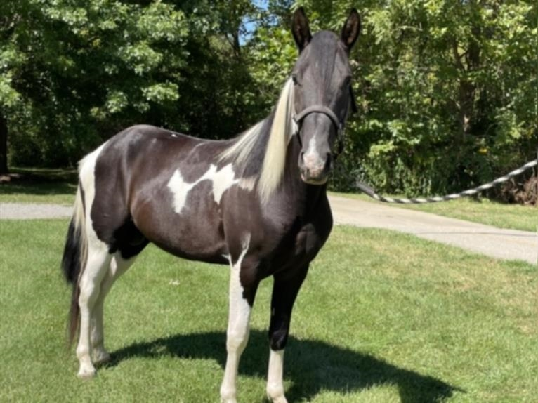 Spotted Saddle Horse Stallion 3 years 15 hh Pinto