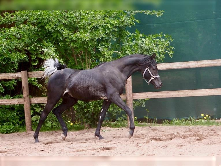 Straight Egyptian Mare Foal (03/2021) 14,2 hh Black