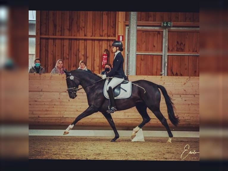 Trakehner Mare 5 years 16 hh