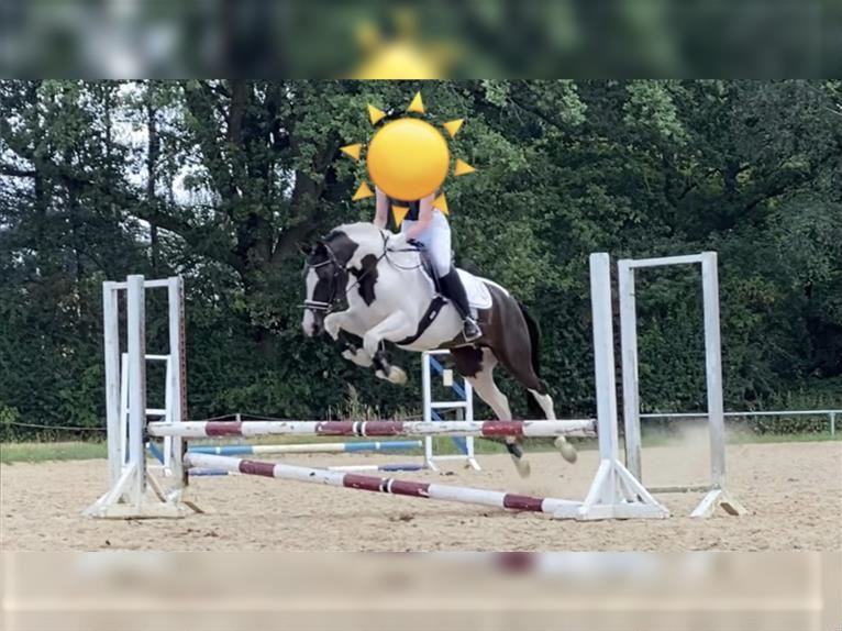 German Riding Pony Mare 5 years 14,1 hh Pinto