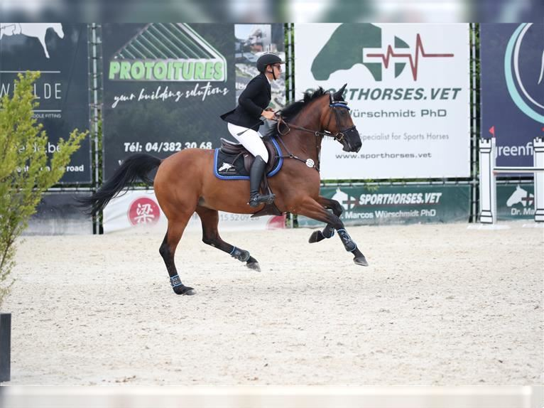 Hanoverian Mare 13 years 16 hh Brown