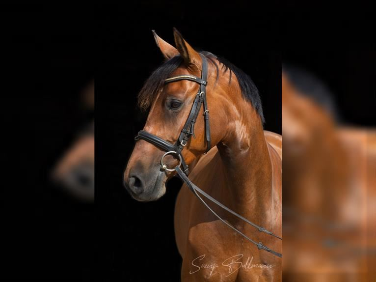 German Sport Horse Mare 6 years 16 hh Brown