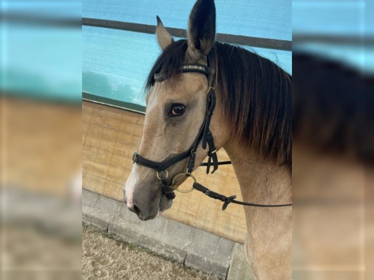 More ponies/small horses Mare 10 years 15,1 hh Pinto