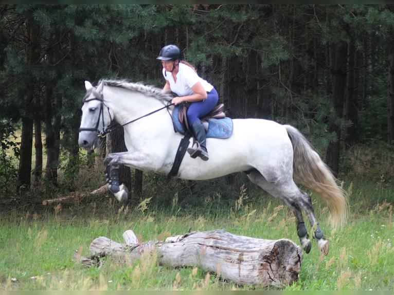 Andalusian Gelding 7 years 15,1 hh Gray-Dapple