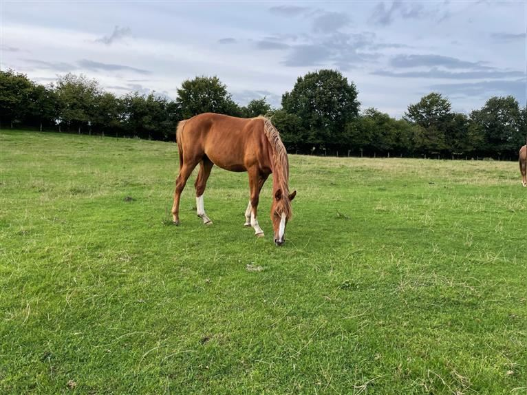 Hanoverian Mare 1 year 16,1 hh Chestnut-Red