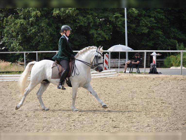 UFANO DES ISCLES Camargue Stallion Gray