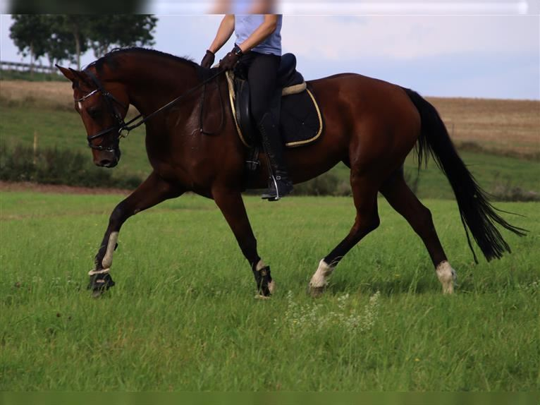KWPN Mare 11 years Brown
