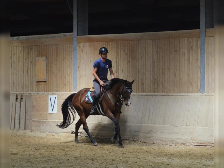 English Thoroughbred Mare 7 years 15,2 hh Brown
