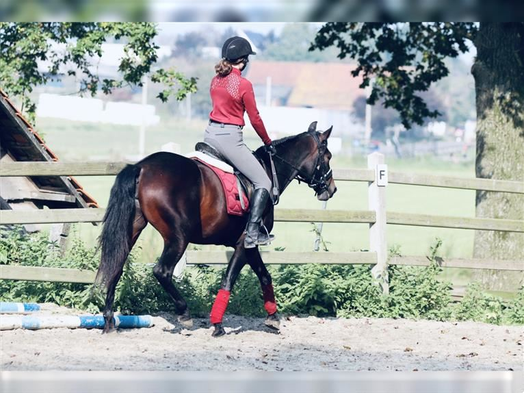 Andalusian Mare 10 years 15,1 hh Bay-Dark
