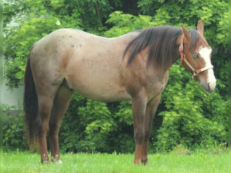 American Quarter Horse Hengst 2 Jahre Roan-Red