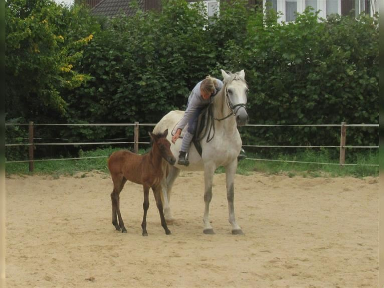 Other Warmbloods Mare 9 years 15,2 hh Gray