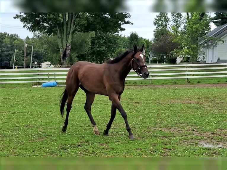 Other Thoroughbreds Mare 3 years 15,3 hh