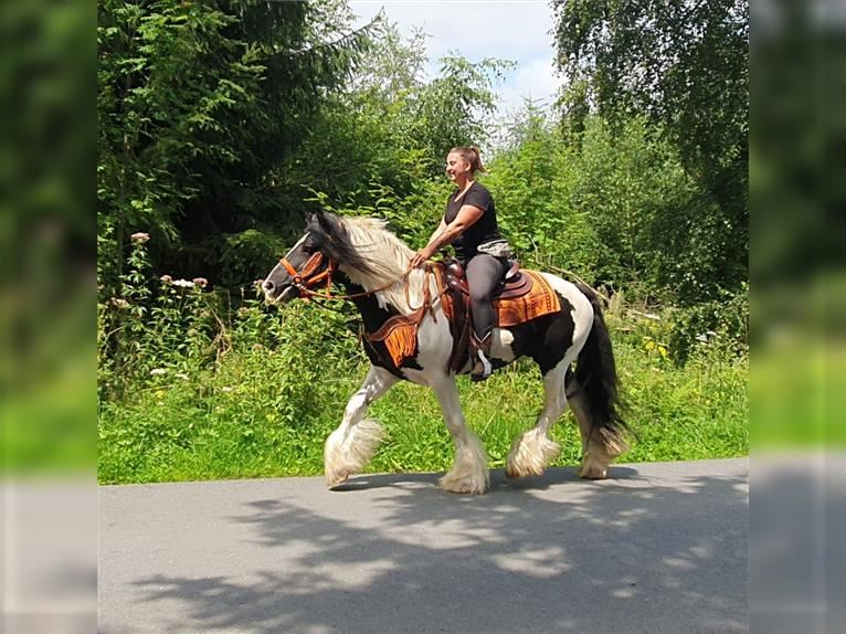 Gypsy Horse Gelding 13 years 15,1 hh Pinto